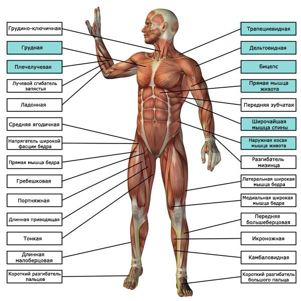 группы мышц, работающие при