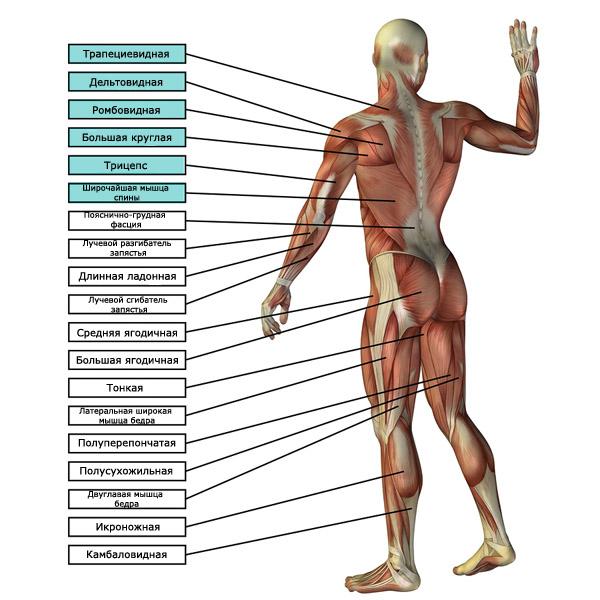 мышцы, работающие при