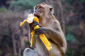все приматы практикуют вегетарианство